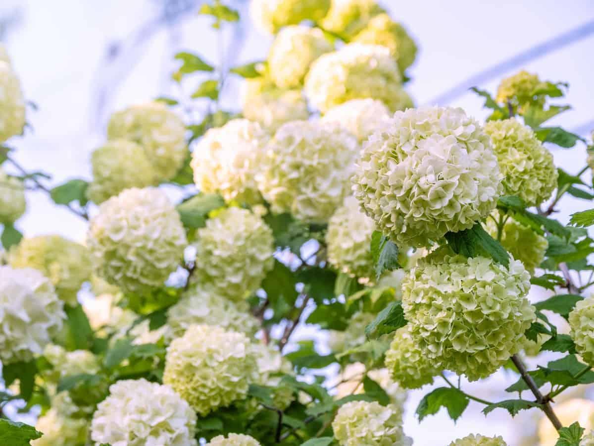 The snowball bush viburnum offers three-season interest.