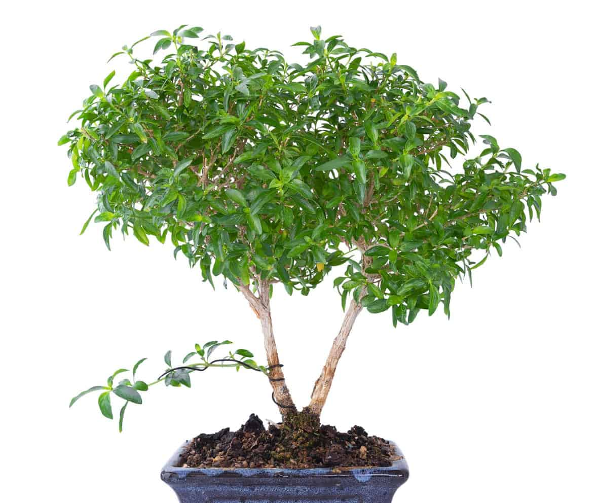 The snowrose bonsai is also called the tree of a thousand stars.