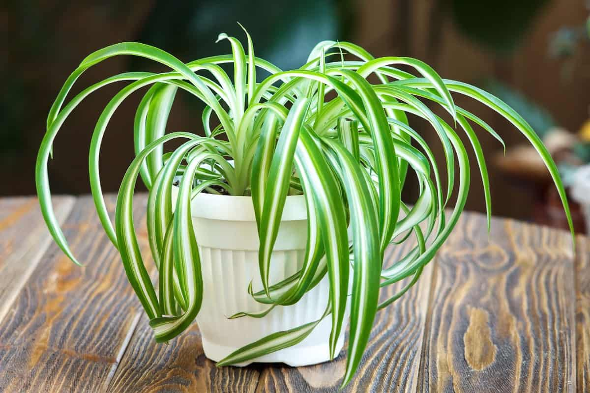 Spider plants look great in hanging baskets.
