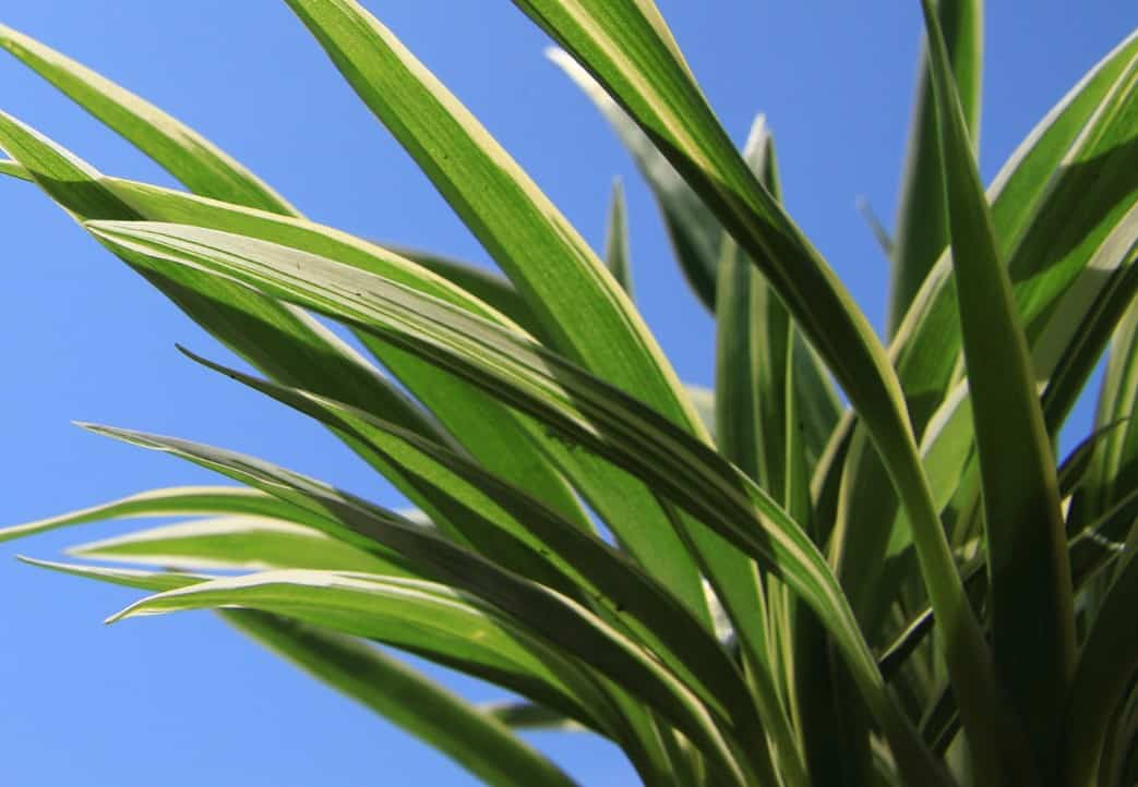 Spider plants are incredibly easy to grow.