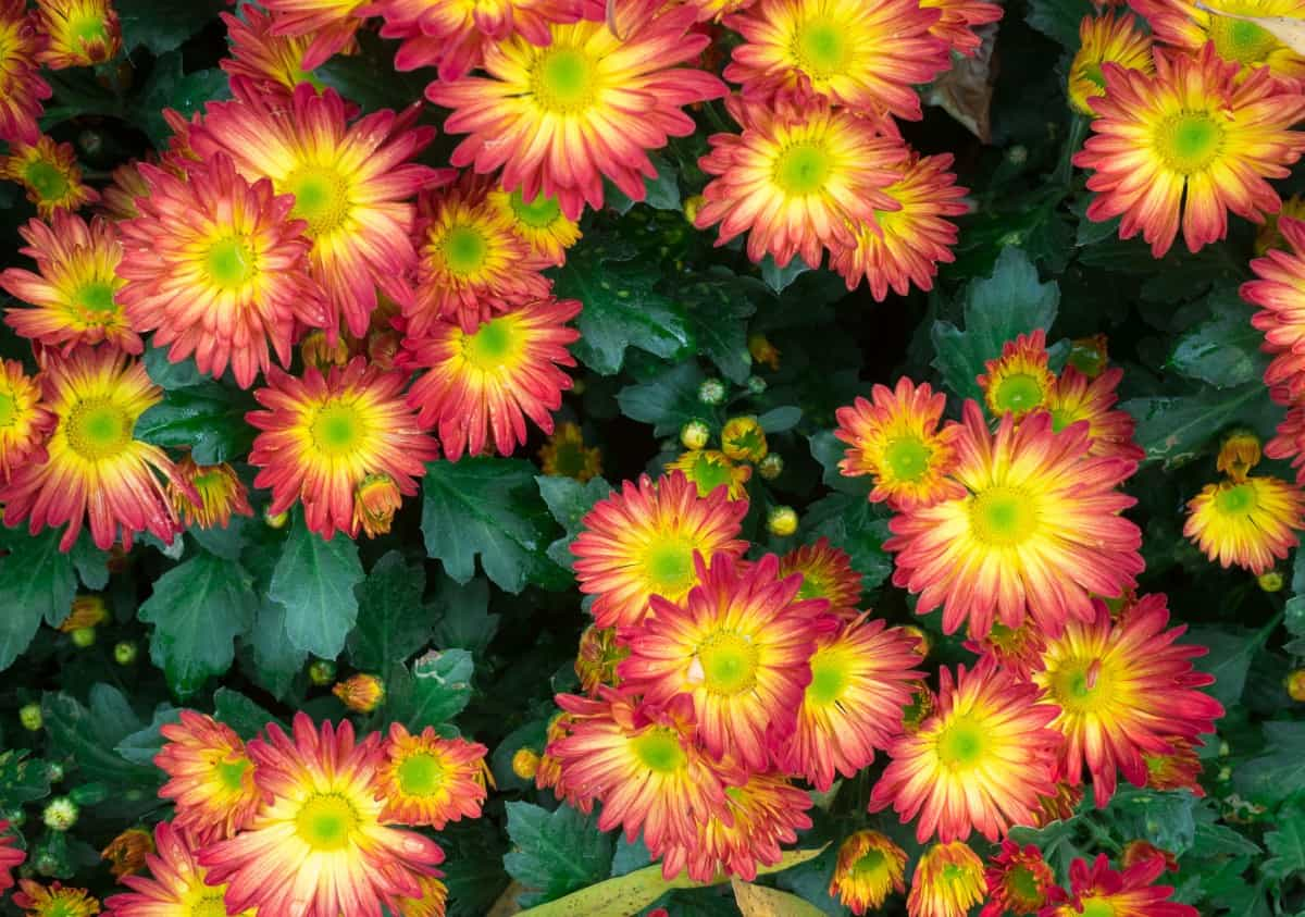 Strawflowers have daisy-like blooms in bright colors.