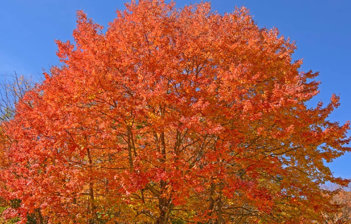 Sugar maples offer a brilliant fall display of orange leaves.