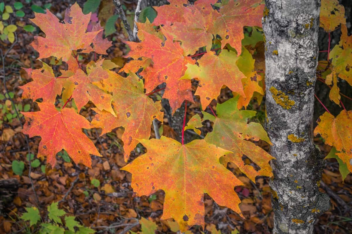 Maple syrup comes from sugar maple trees.