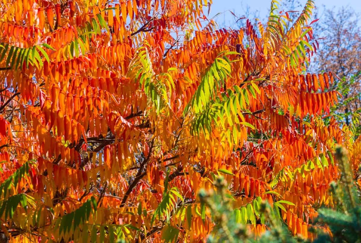 Not all sumac trees are poisonous.