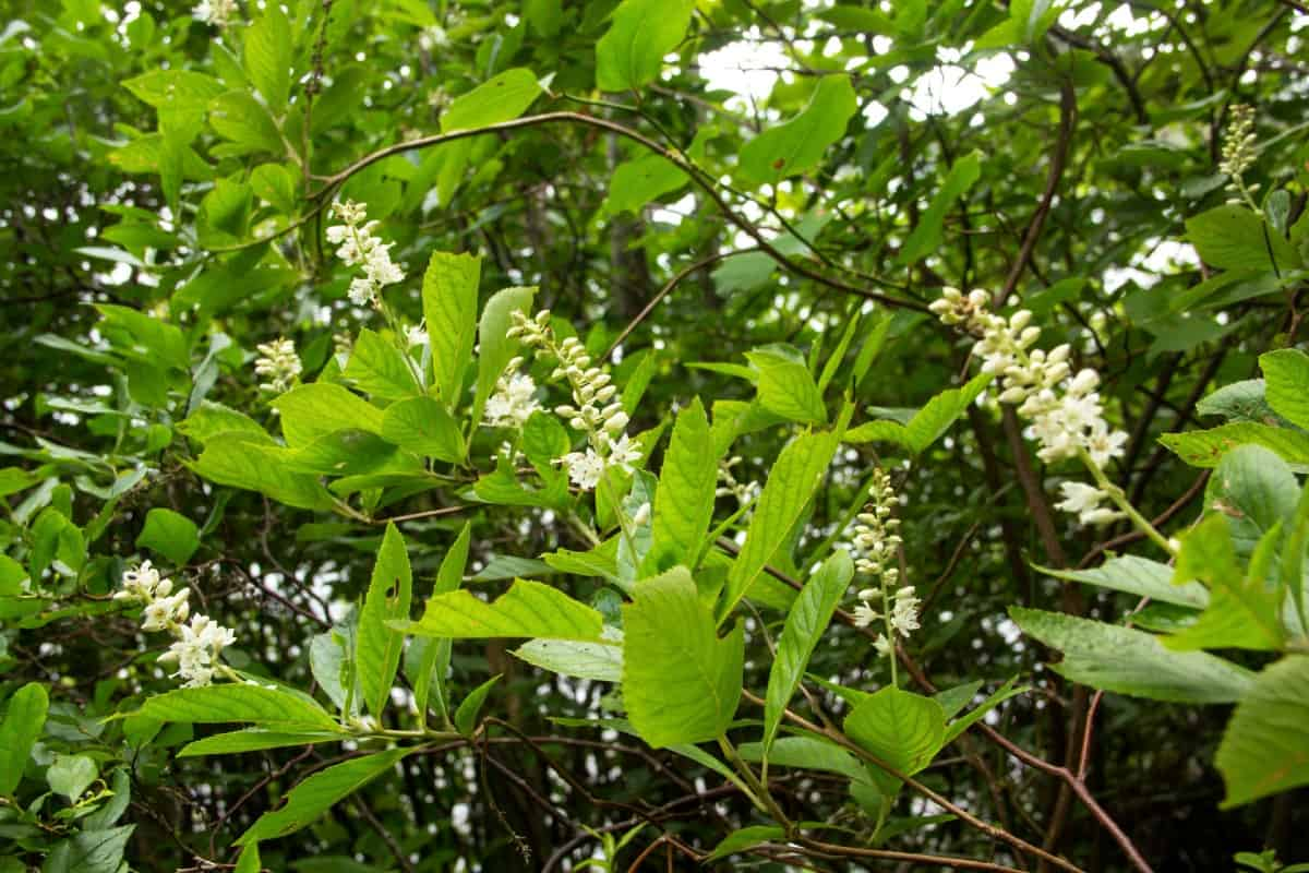 Summersweet is also known as the sweet pepperbush.