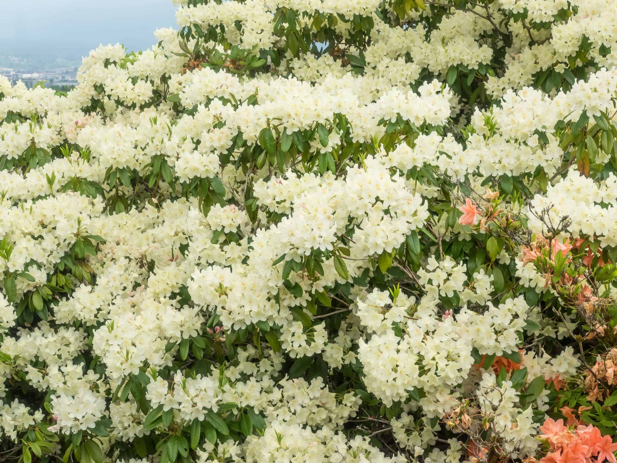 Sweet azaleas smell nice but they are poisonous.