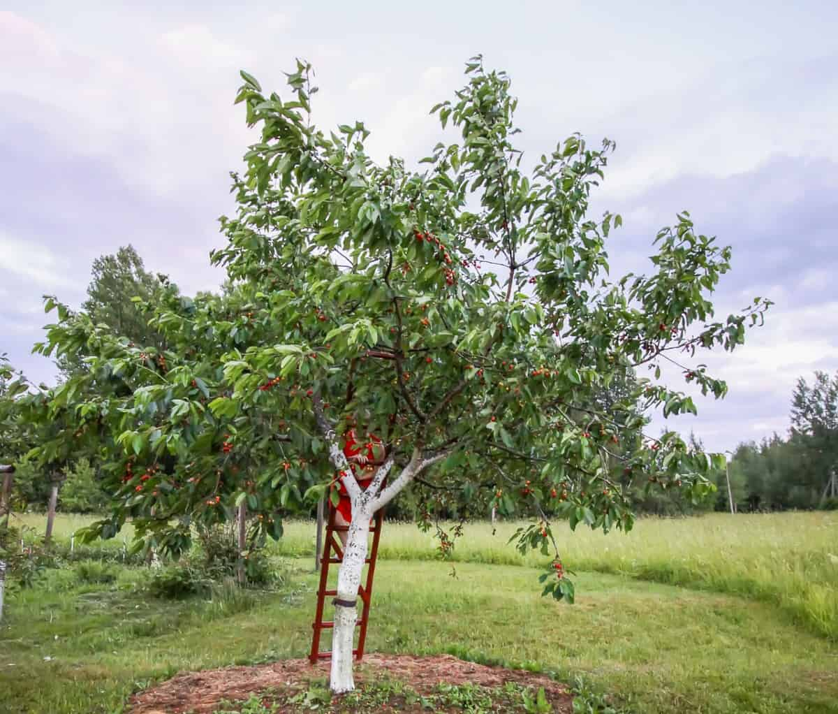 Grow 2-3 sweet cherry trees together for pollination.