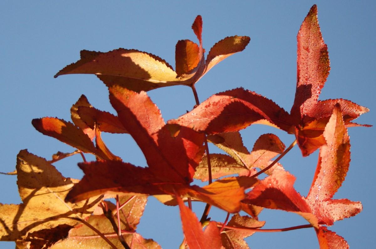 Sweetgum leaves exhibit many fall colors.