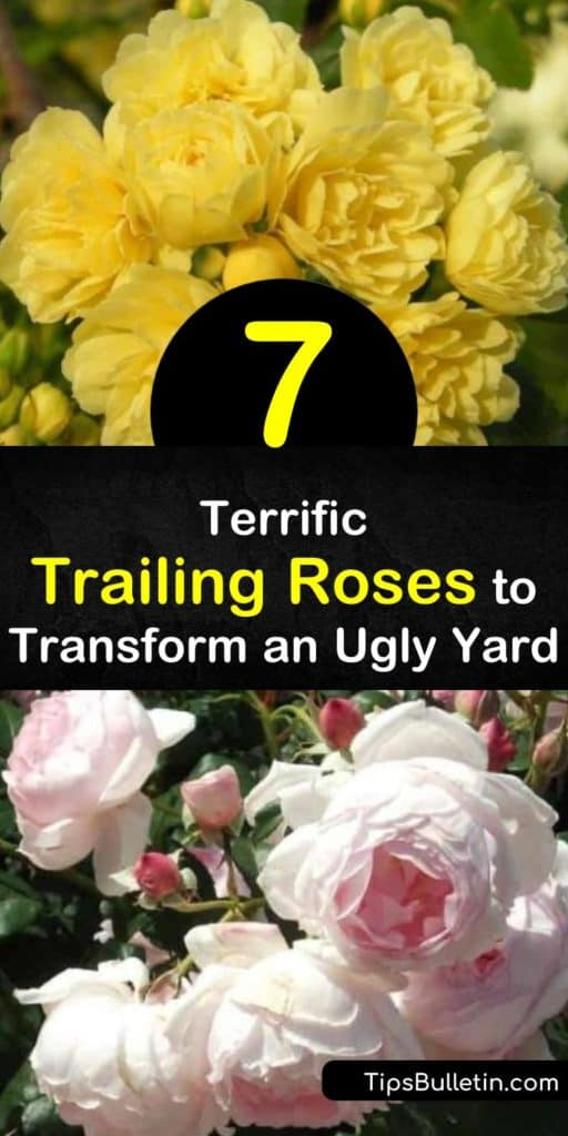 Find the perfect trailing rose for your garden. With full sun, well-draining soil, and good air circulation to prevent black spot, these rambler rose bushes happily grow over walls, arches, or the ground. Available in apricot, white, and more. #roses #ramblers #trailingroses