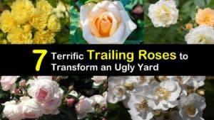 Trailing Roses titleimg1