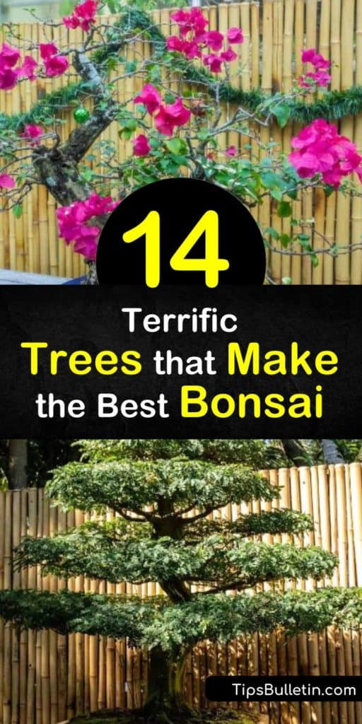 Discover outdoor and indoor bonsai trees to add an elegant touch to your home. Great options for outside include the beginner-friendly ficus bonsai, the colorful azalea, and the juniper bonsai, while the succulent dwarf jade is one of the many cute bonsai houseplants. #trees #bonsai #grow