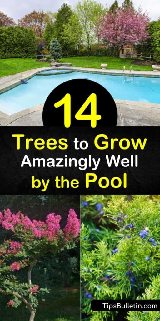 Discover how to create an oasis of palm trees, deciduous trees, and other low maintenance trees while pool landscaping. Plant an acacia or fruitless olive tree for unique shape and foliage and other poolside trees such as citrus and palms. #pooltrees #pool #tree #growingtrees
