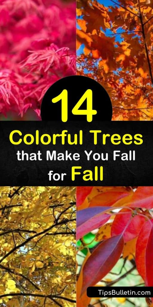 See autumn like you never have before with these colorful trees for fall. Planting the red maple, dogwood, saccharum, or any other small tree in full sun makes their red leaves and yellow leaves showcase their brightest leaf color every year. #trees #fall #color