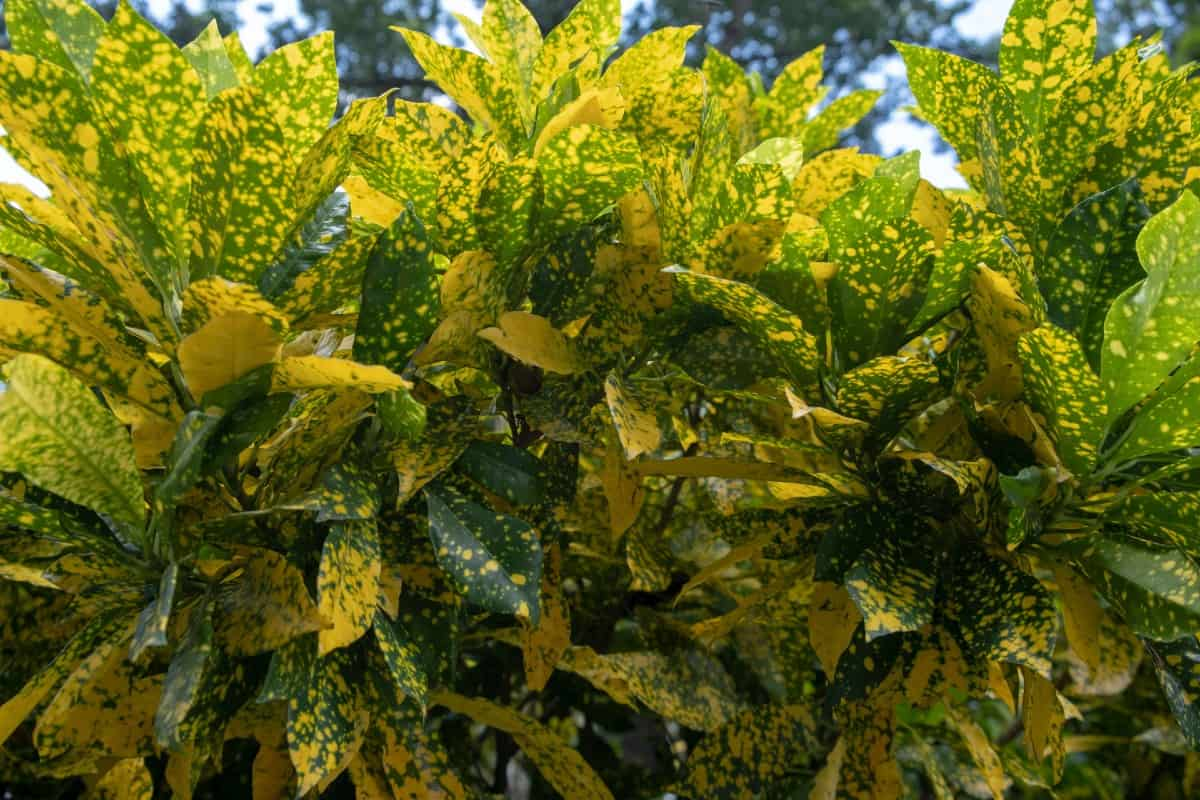 Variegated Japanese laurel is an evergreen with four season interest.