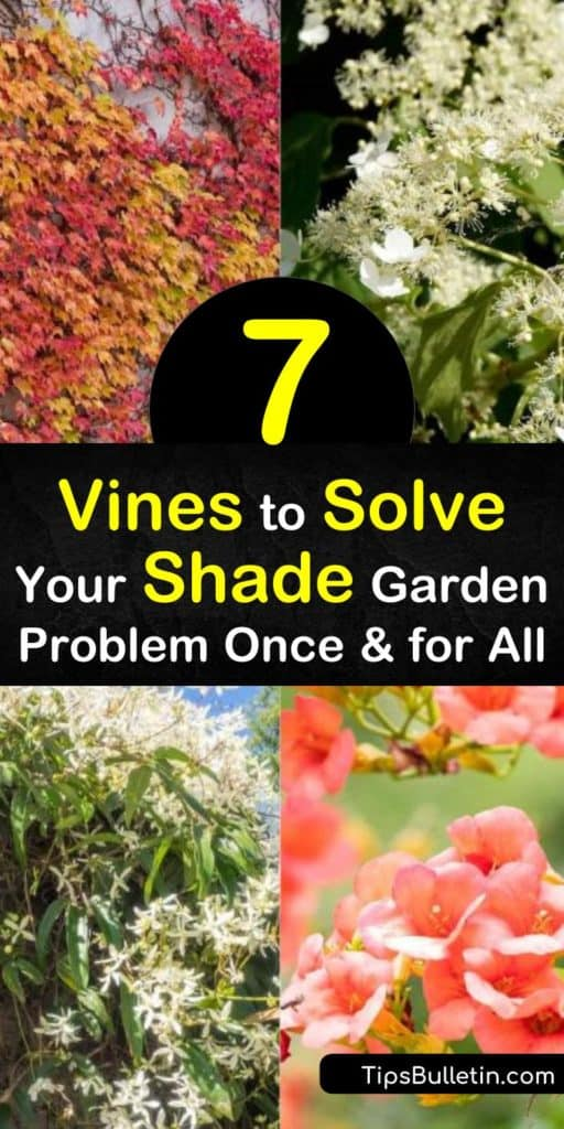 Learn about shade-loving vines, from flowering vines like Japanese honeysuckle to Boston ivy, which can act as ground cover. Though some of these vines also grow in full sun, some handle full shade. Perk up a garden with the white flowers of hydrangea petiolaris. #vines #shadeplants #shade