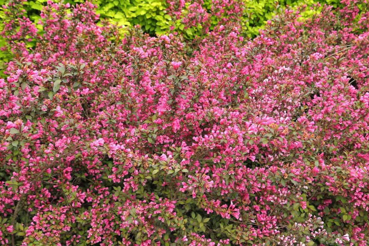 Weigela is a bush with an attractive arching habit.