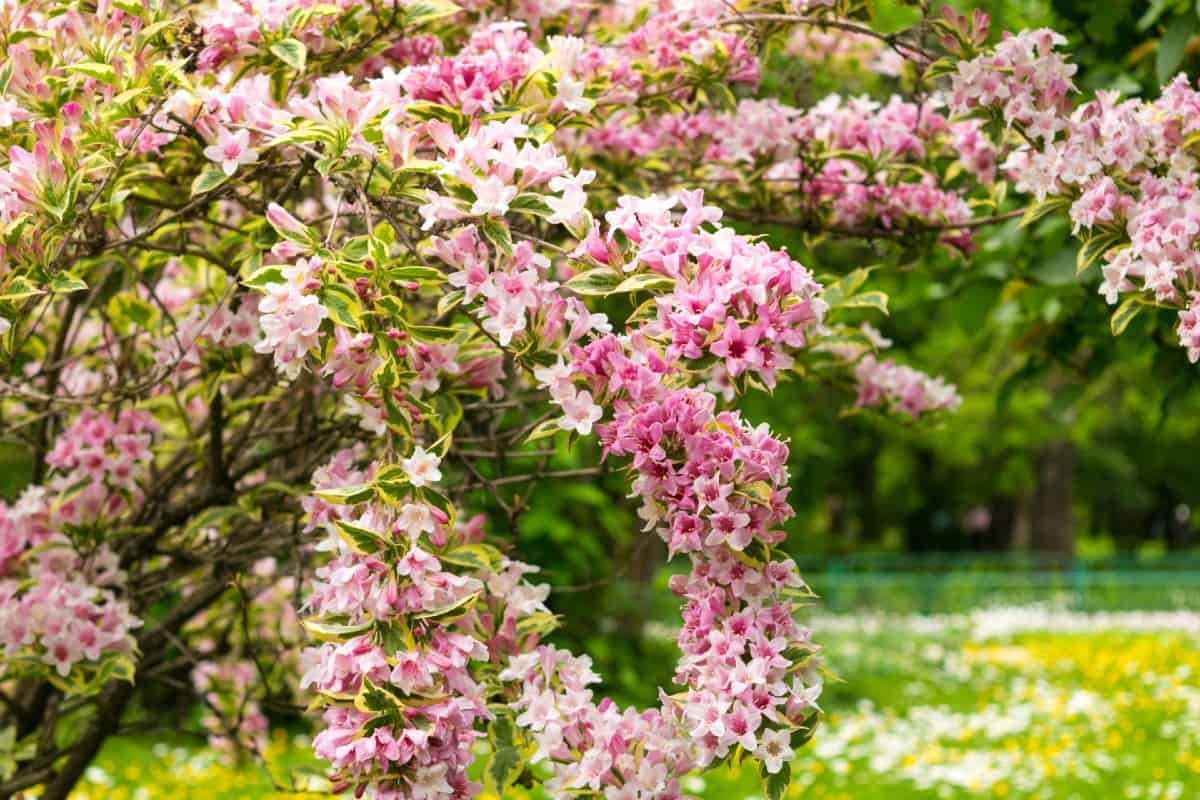 Weigela shrubs have pink trumpet-shaped flowers.