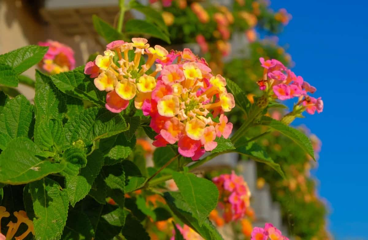 West Indian lantana is an easy-growing ground cover plant.