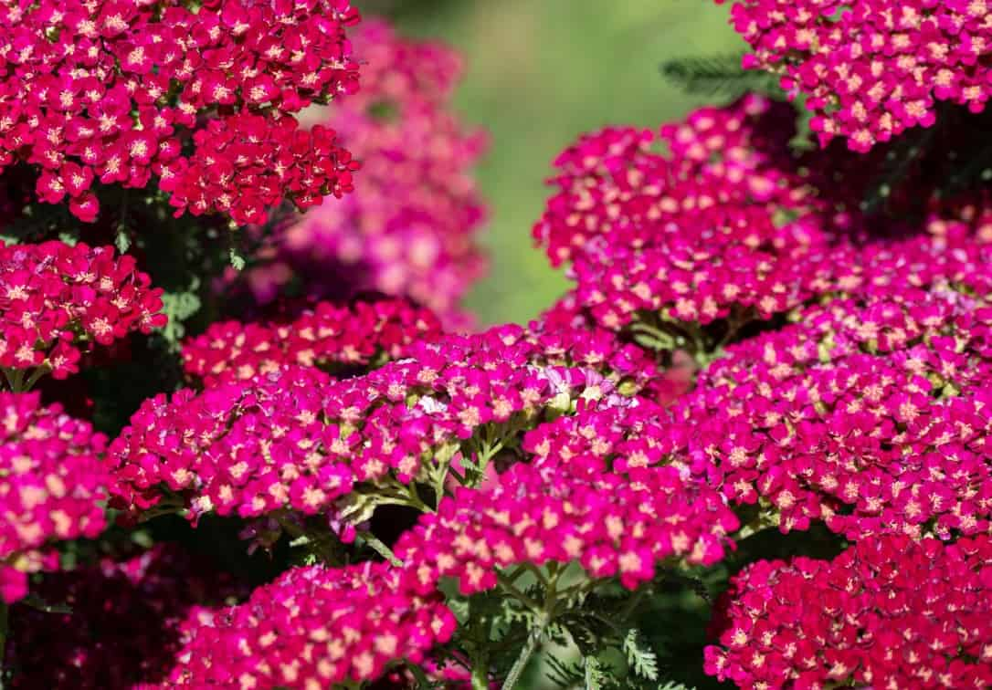 Yarrow is a drought-tolerant annual plant.
