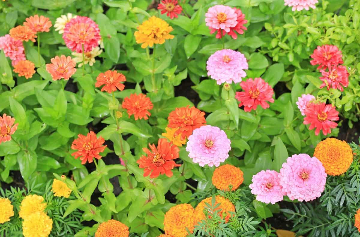 Zinnias are a tough annual that attracts butterflies.