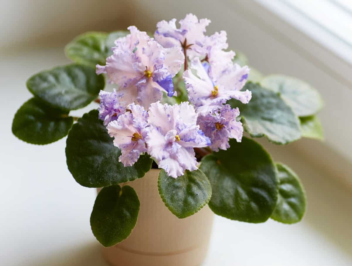 African violets are small plants with pretty flowers.