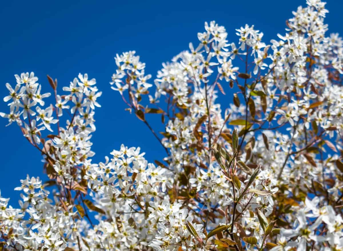 The Allegheny serviceberry has drooping white flowers.