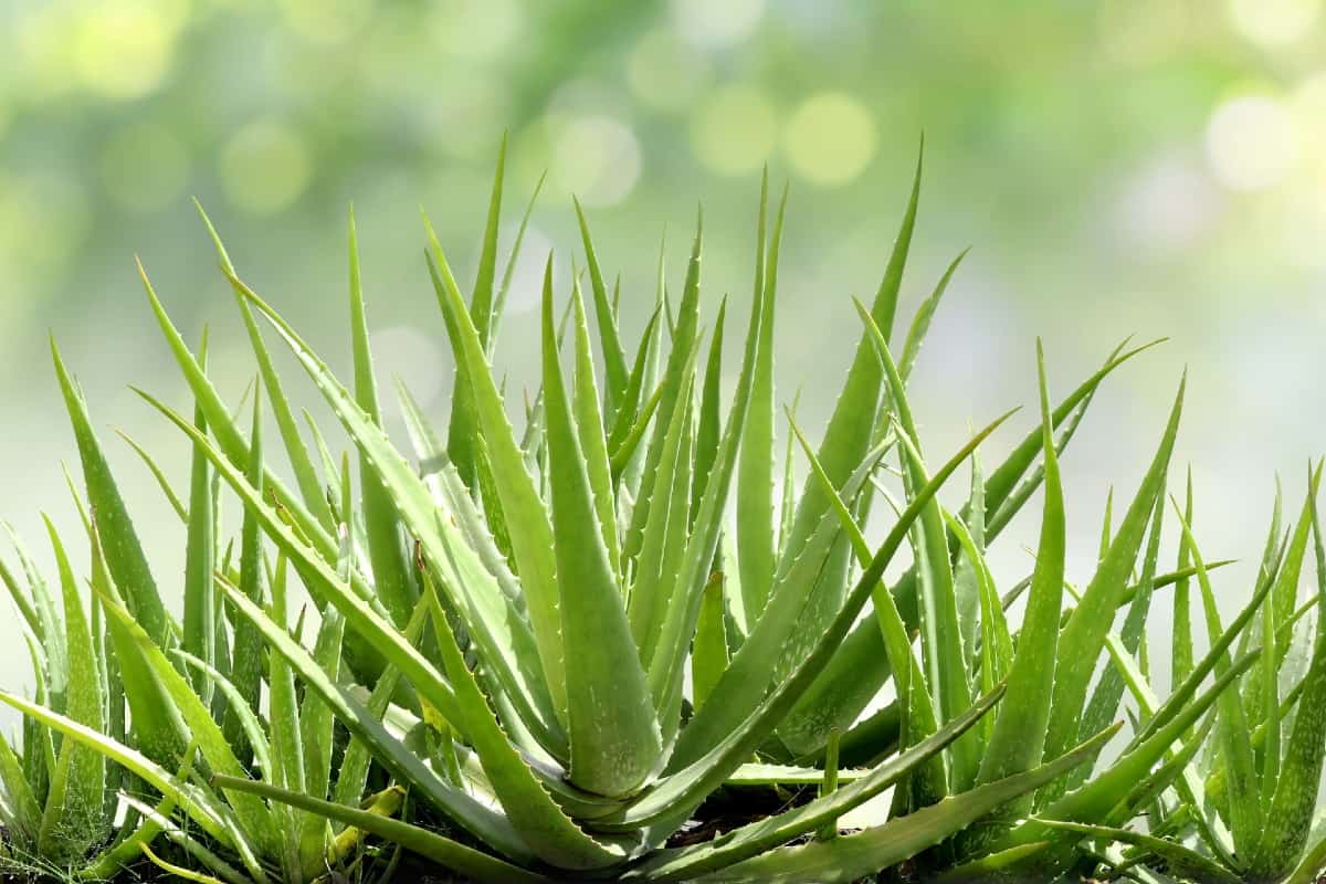 The gel in aloe vera leaves has healing properties.