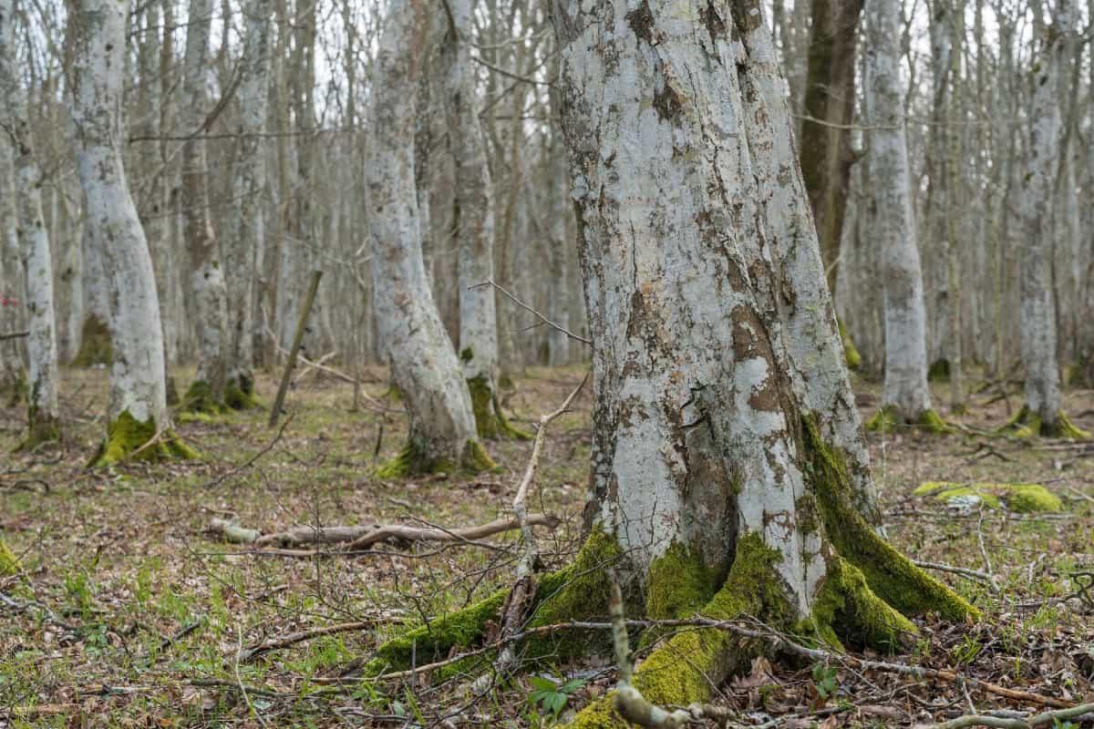 American hornbeams have multiple trunks.