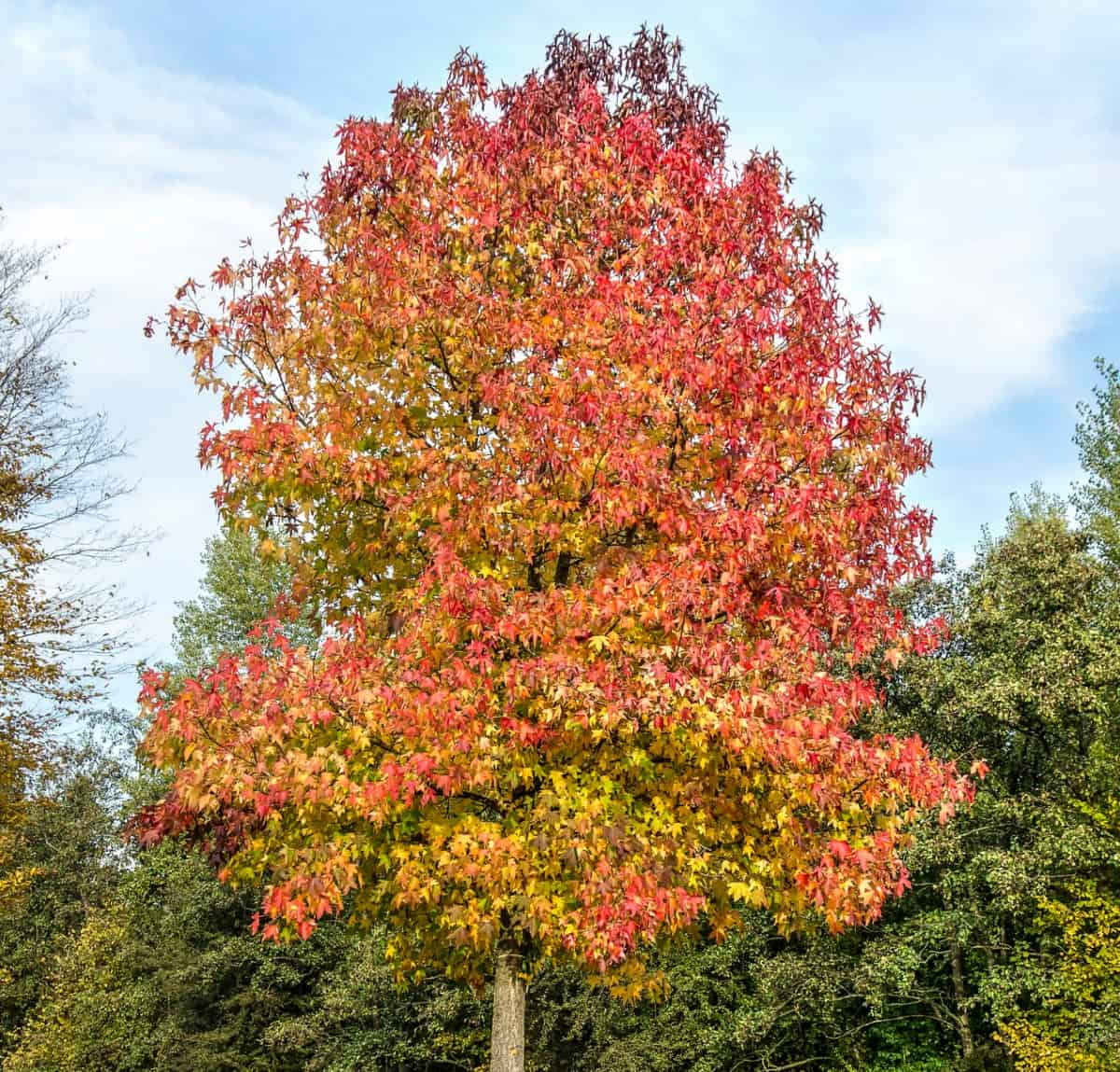 Red is only one color of the American sweetgum tree's leaves.