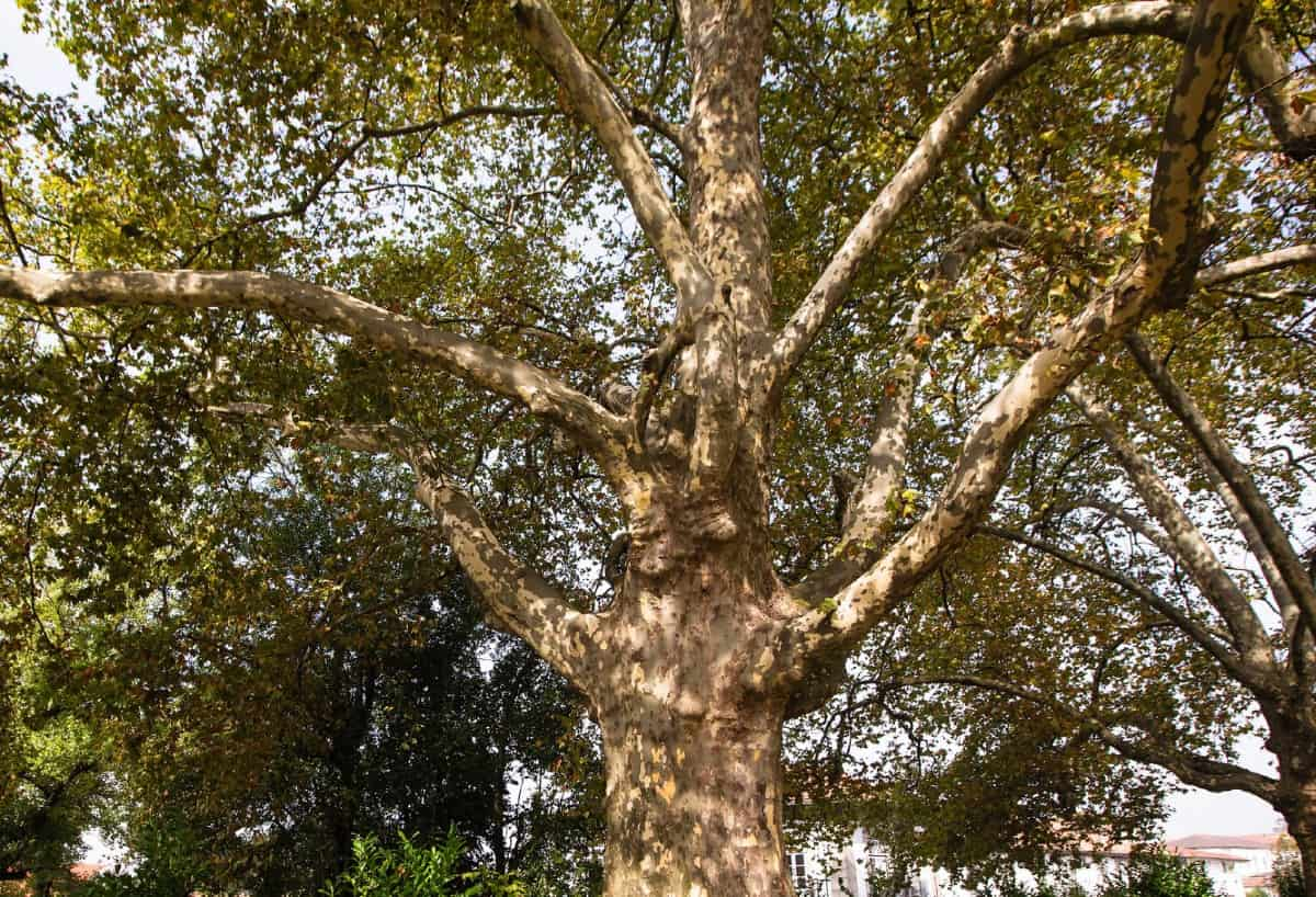 The American sycamore is a large tree that makes a mess.