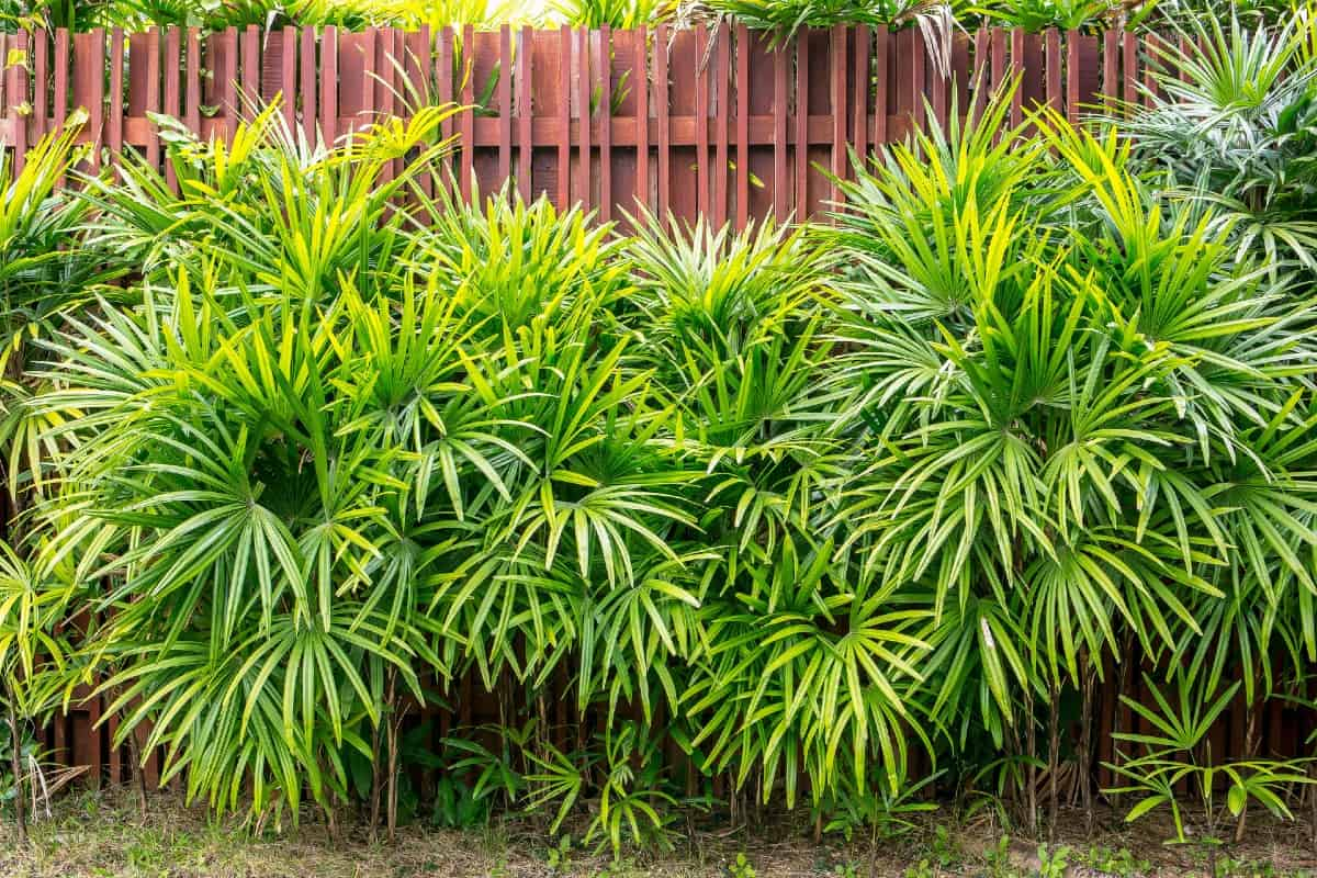 Bamboo palms are great as shrubs because they are low-growing.