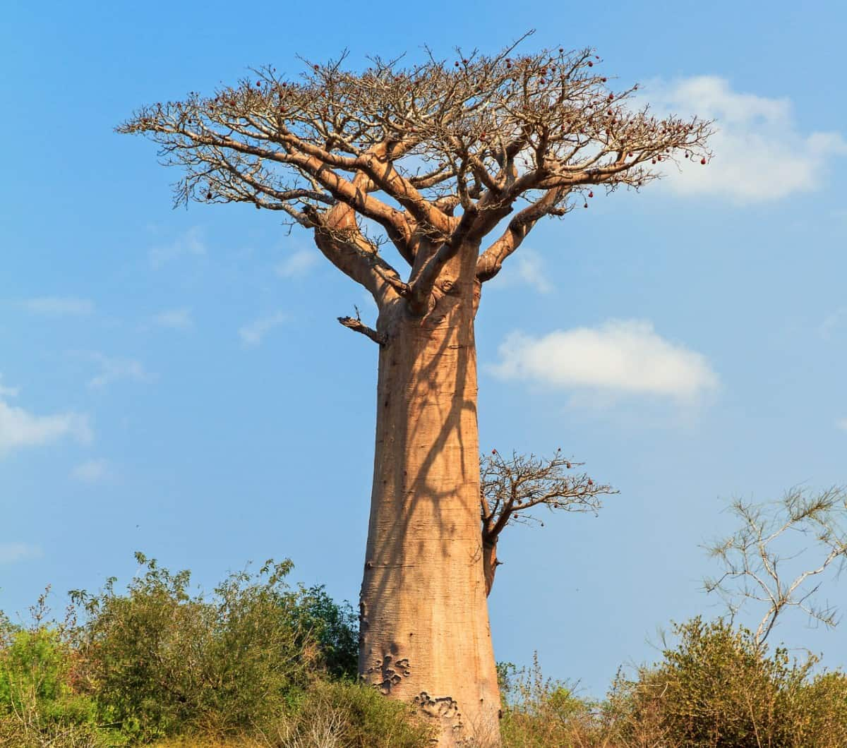 The baobab is also called the tree of life.