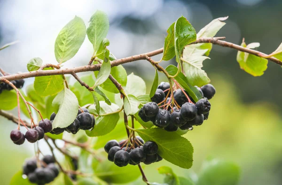 The fruit of the black chokeberry makes delicious jam.