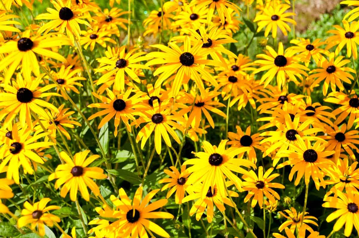The black-eyed Susan is easy to grow.