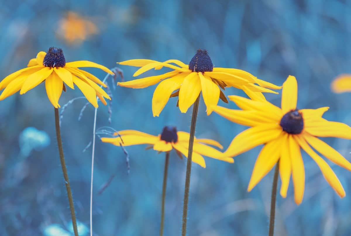 Deadhead black-eyed Susan flowers regularly for more blooms.