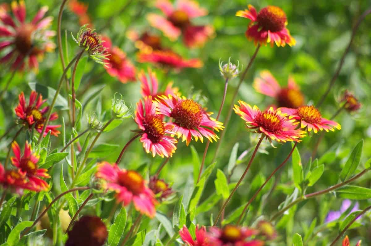 Blanket flowers are colorful sun-lovers.