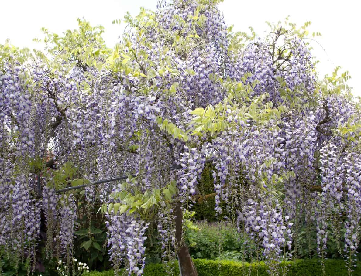 The blue Chinese wisteria can be trained as a vine or tree.
