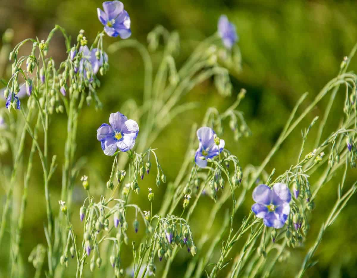 Blue flax is used to make linseed oil.