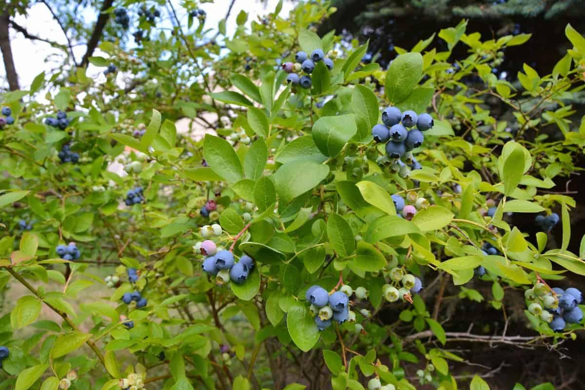 Blueberry plants are self-fertile.