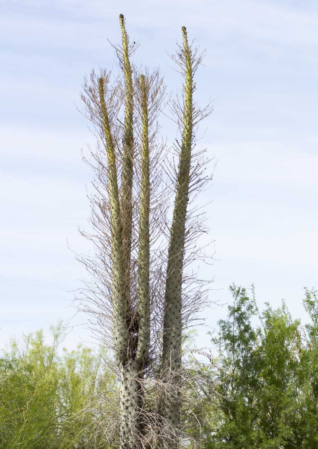 The boojum is an unusual flowering tree.