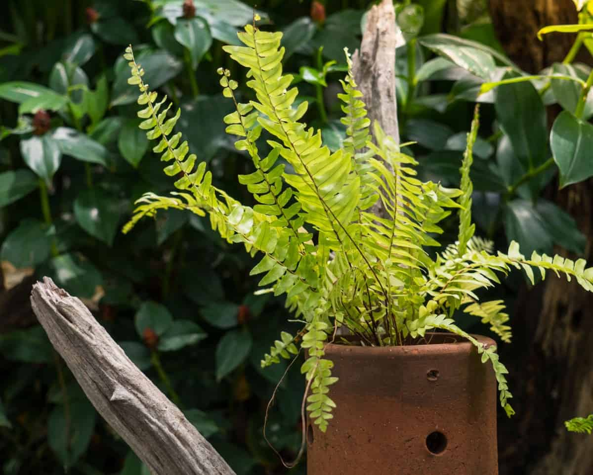 Boston ferns are hanging plants that need lots of humidity.