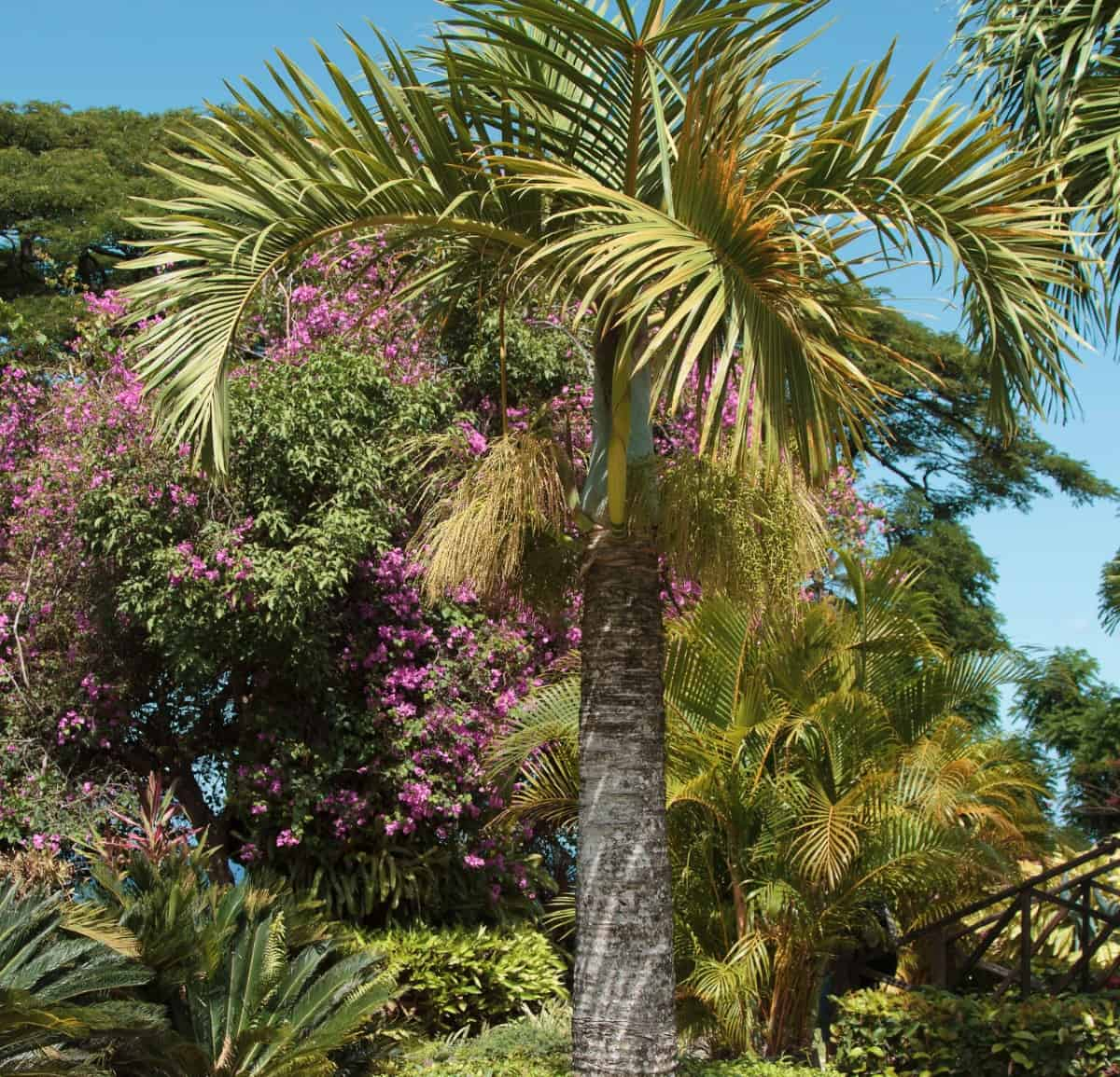 Bottle palm trees have a unique trunk shape.
