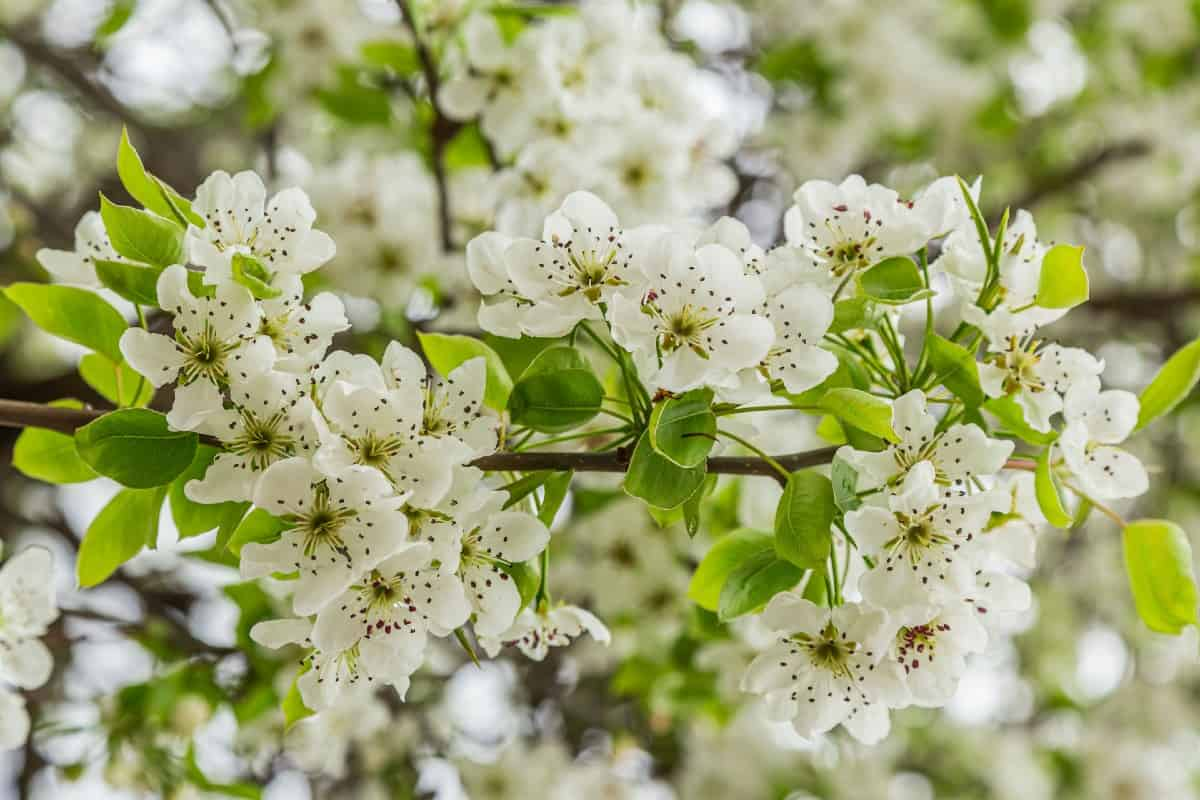Bradford pear trees are susceptible to fire blight.
