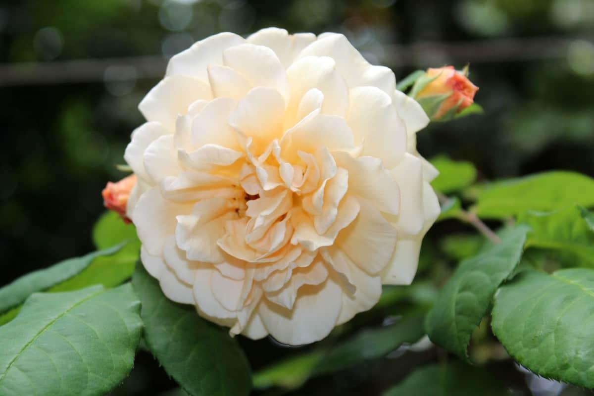 The buff beauty rose smells like tea.