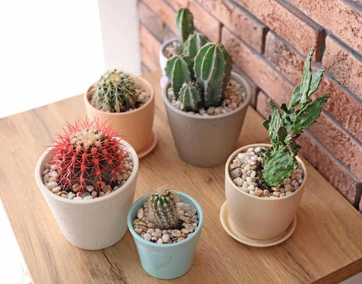 Cacti plants need little water.