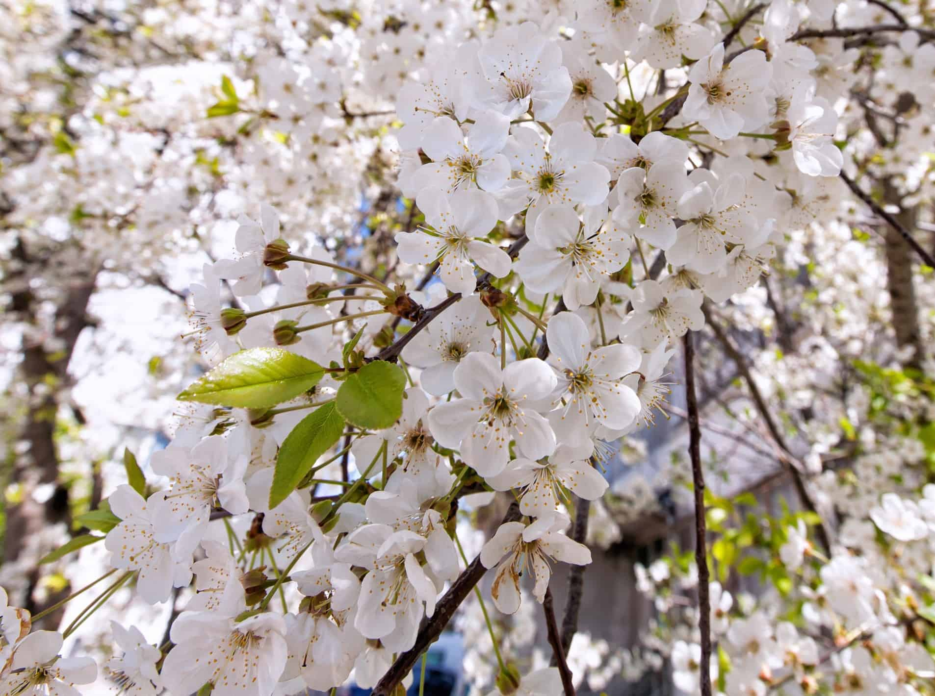 It takes at least five years for cherry trees to produce fruit.