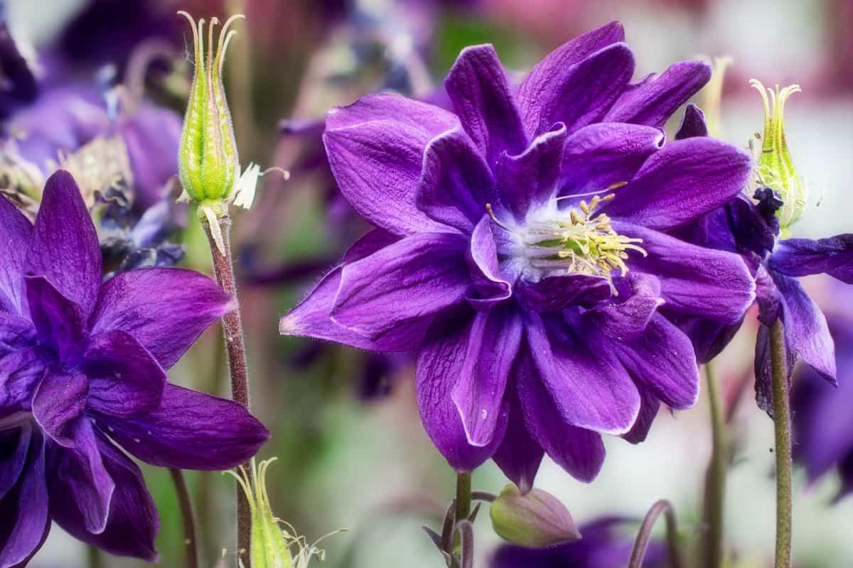 Common columbine is Colorado's state flower.