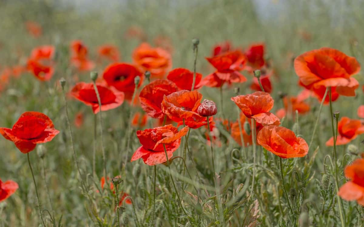Common poppies make excellent cut flowers.