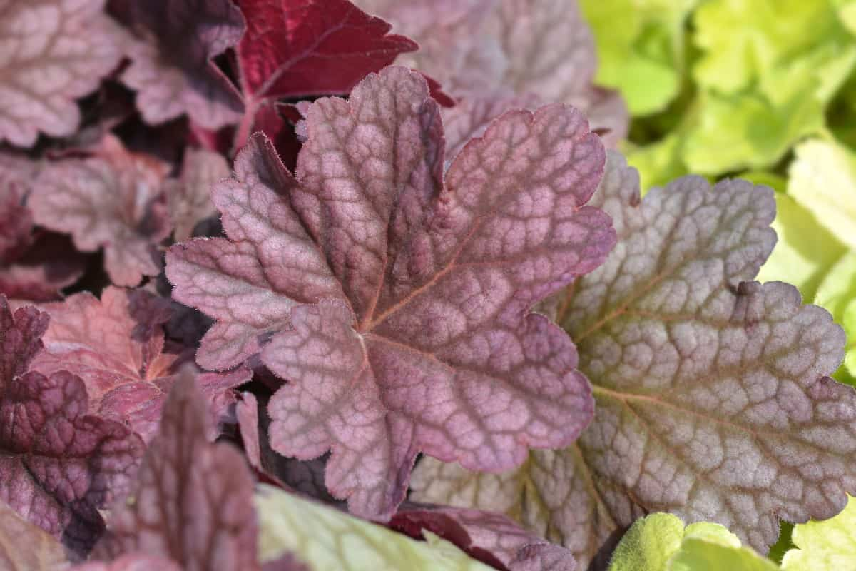 You can find red and purple among the many colors of coral bells' foliage.