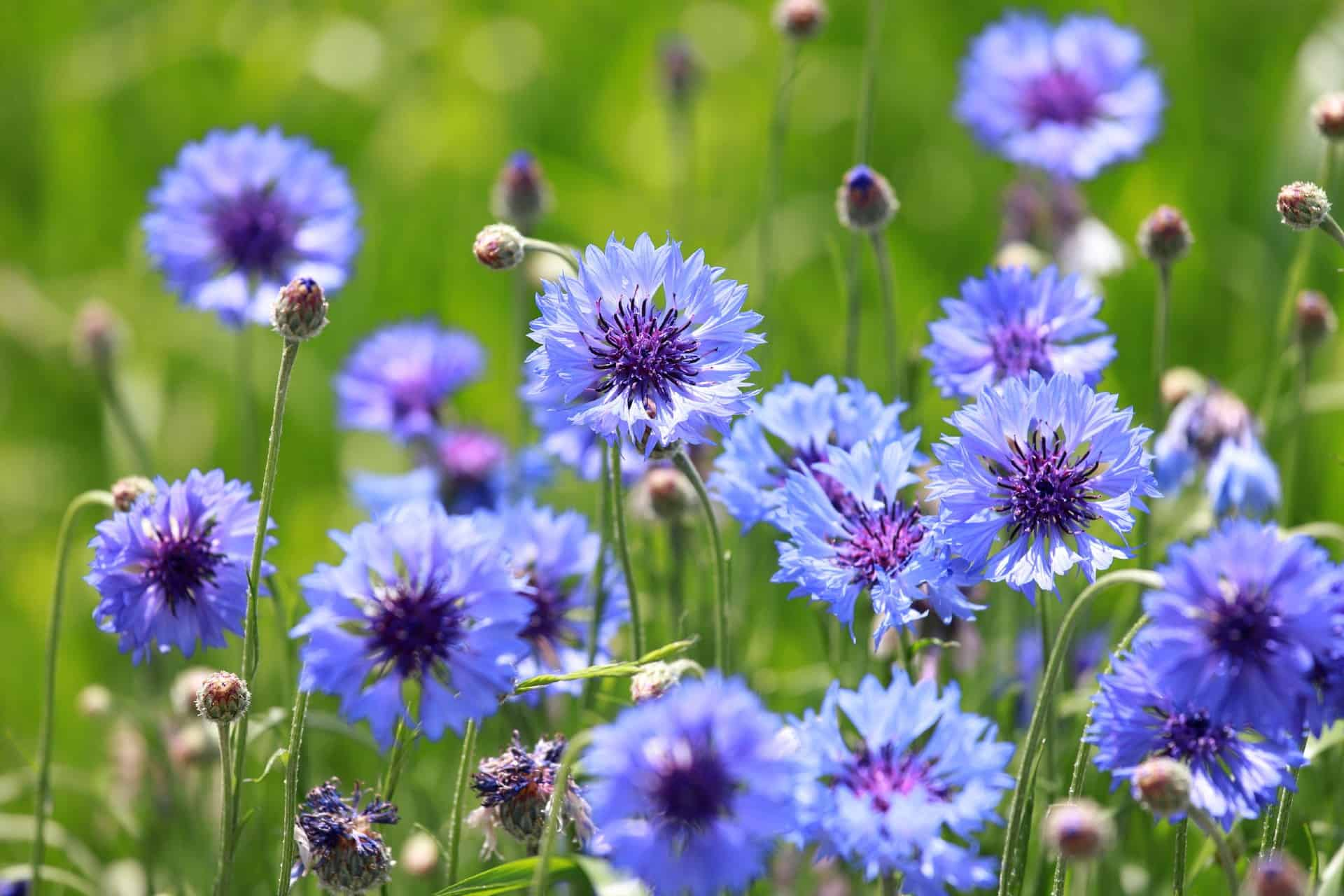 Cornflowers are cold-hardy wildflowers.